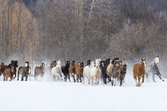 Лошади бежать в снеге стоковые фотографии rf