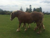 Лошади Бельгии Стоковые Изображения