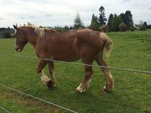 Лошади Бельгии Стоковые Фотографии RF