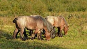 Лошади Брайна бельгийские тяжелые пася в природе Стоковое Изображение RF