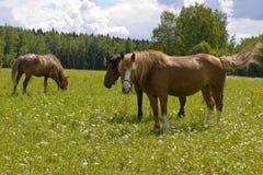 Лошади Брайна на луге Стоковое Изображение