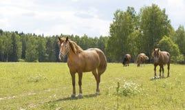 Лошади Брайна на луге Стоковые Изображения RF