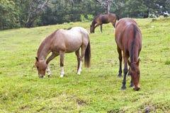 Лошади Брайна пася на холме Стоковое Изображение RF