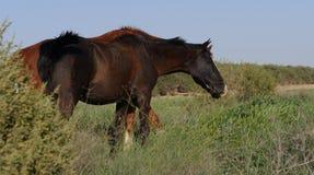 Лошади Брайна пася Стоковые Изображения RF