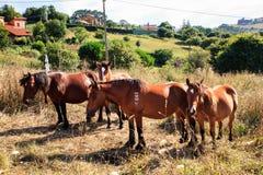 Лошади Брайна пася Стоковое Фото