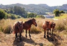 Лошади Брайна пася Стоковые Фото