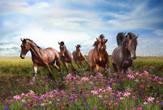 Лошади быстро скачут на цветя луг стоковые фотографии rf
