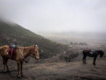 Лошади вокруг горы Bromo Стоковая Фотография RF