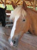Лошади в амбаре Стоковое фото RF