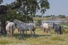 Лошади в выгонах вполне дубов Солнечный весенний день в эстремадуре, Испания Стоковое Изображение