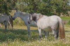 Лошади в выгонах вполне дубов Солнечный весенний день в эстремадуре, Испания Стоковые Изображения RF