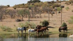 Лошади в заповеднике Лос Barruecos, эстремадуре, Испании сток-видео