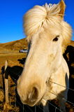 Лошади в Исландии Стоковое фото RF