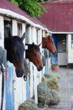 Лошади в их белых конюшнях Стоковые Фото