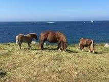 Лошади вдоль моря в Бретани Стоковое Изображение