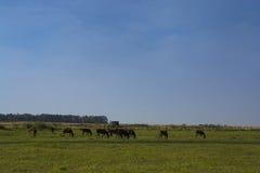 Лошади в Пампасе Стоковые Фотографии RF