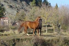 Лошади в поле от Каталонии, Испании Стоковая Фотография