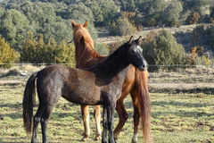 Лошади в поле от Каталонии, Испании Стоковое Изображение