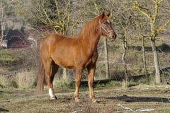 Лошади в поле от Каталонии, Испании Стоковые Изображения