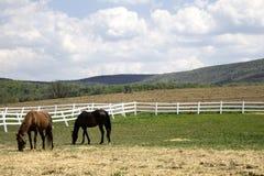 Лошади в поле Стоковые Изображения