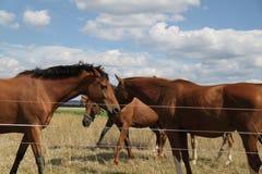 Лошади в поле Стоковое Изображение RF