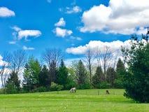 Лошади в поле Стоковые Изображения RF