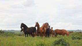 Лошади в середине поля Табун лошадей видеоматериал