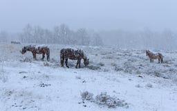 Лошади в снежке Стоковая Фотография