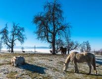 Лошади в снежке Стоковое Изображение