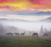 Лошади в тумане на зоре Стоковое Изображение RF