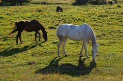 Лошади в луге в Drawskie Лейкленде (Польша) Стоковая Фотография RF