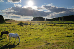 Лошади в луге в Drawskie Лейкленде (Польша) Стоковое Изображение RF