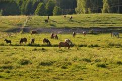 Лошади в луге в Drawskie Лейкленде (Польша) Стоковые Фотографии RF