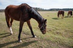 Лошади в луге Стоковое Изображение RF
