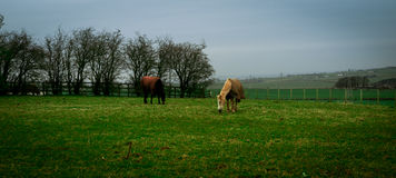 Лошади в medow Стоковое Изображение RF