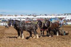 Лошади графства работая на земле выставки Стоковые Изображения