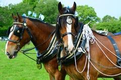 Лошади графства Стоковые Изображения RF