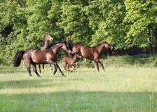 Лошади играя на выгоне Стоковое фото RF