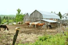 Лошади используют амбар на ферме как windbreak Стоковое Изображение