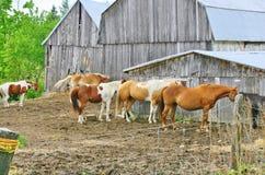 Лошади используют амбар на ферме как windbreak Стоковые Фотографии RF
