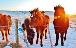 Лошади Исландии Стоковая Фотография