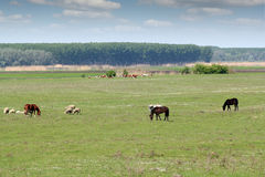 Лошади и коровы овец Стоковые Фото