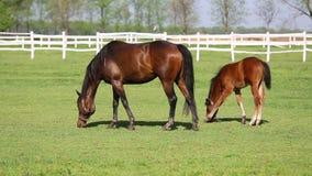 Лошади и осленок на ферме сток-видео