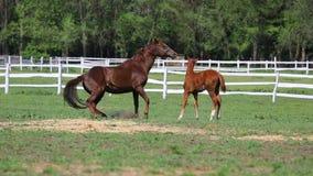 Лошади и осленок на ферме видеоматериал