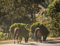 Лошади и люди работая в Гватемале Стоковые Фотографии RF