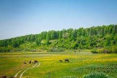Лошади идя в луг Стоковая Фотография