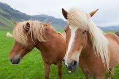 Лошади каштана исландские Стоковые Фото