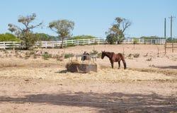 Лошади каштана Стоковое фото RF