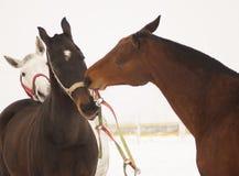 Лошади коричневые и белая забота о одине другого в paddock Стоковое Изображение