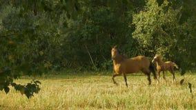 Лошади, который побежали в кругах сток-видео